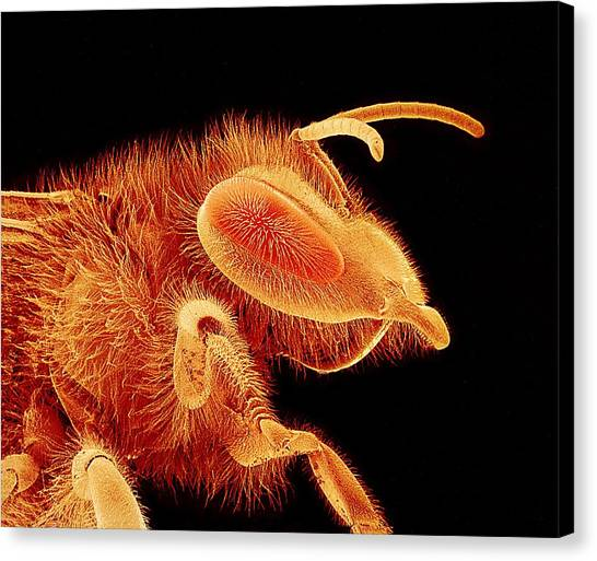 Honey Bee, Sem Canvas Print by Susumu Nishinaga