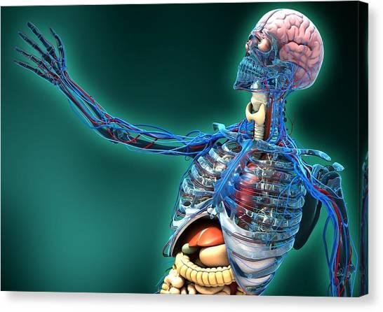 Human Anatomy, Artwork Canvas Print by Carl Goodman