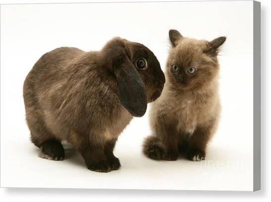 Birmans Canvas Print - Kitten And Rabbit by Jane Burton