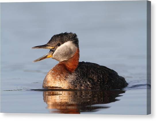 Rednecked Grebe Canvas Print