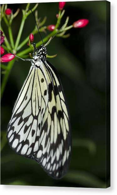 Rice Paper Butterfly Canvas Print
