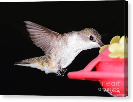 Ruby Throated Hummingbird Canvas Print by Steve Javorsky