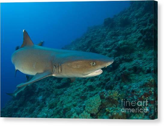 Kimbe Bay Canvas Print - Whitetip Reef Shark, Kimbe Bay, Papua by Steve Jones
