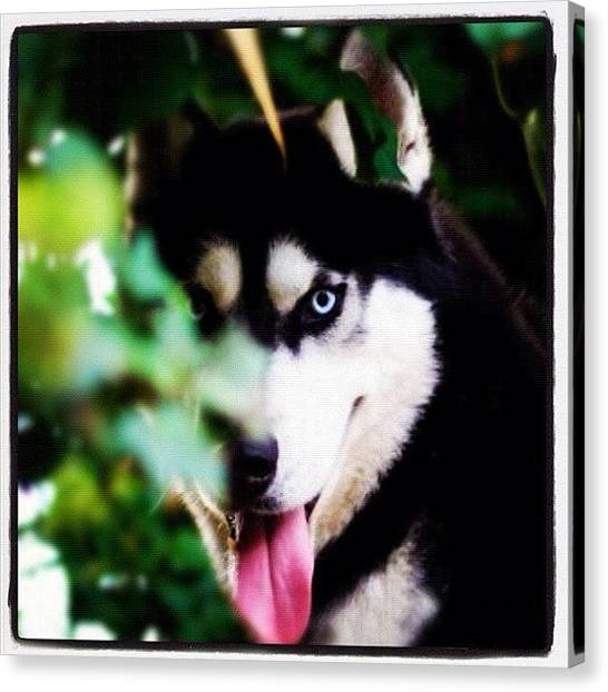 Wolves Canvas Print - 40-40 I See Koda Behind The Bushes. ;) by Brett Pugsley