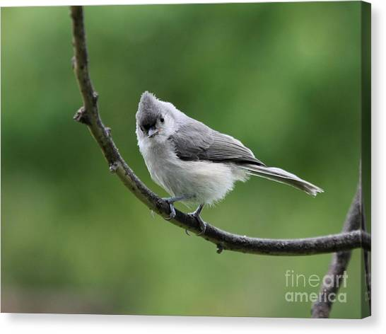 Tufted Titmouse Canvas Print by Jack R Brock