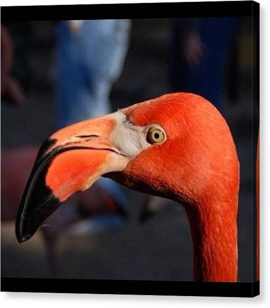 Flamingos Canvas Print - Instagram Photo by Harold Coombs III