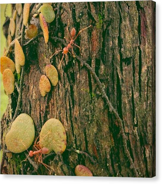 Ants Canvas Print - Instagram Photo by Richard Phyo