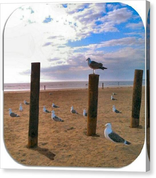 Seagulls Canvas Print - #4of4 #gulls #thebirds! #flock #seagull by Kevin Zoller