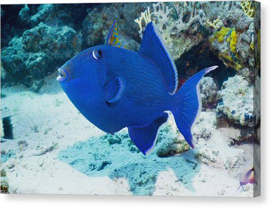 Blue Triggerfish Canvas Print by Georgette Douwma