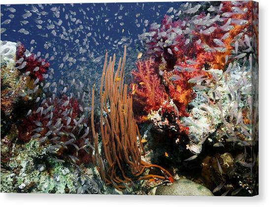 Pigmy Canvas Print - Coral Reef by Georgette Douwma