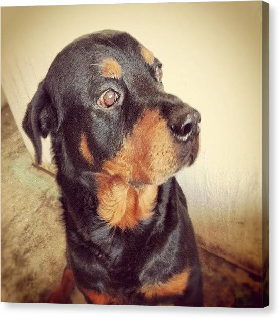 Rottweilers Canvas Print - #cute #picoftheday #igers #instamood by Andy Diaz