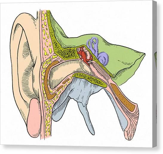 Auditory Nerve Art | Fine Art America