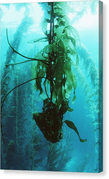Kelp Forest Canvas Print - Giant Kelp by Georgette Douwma