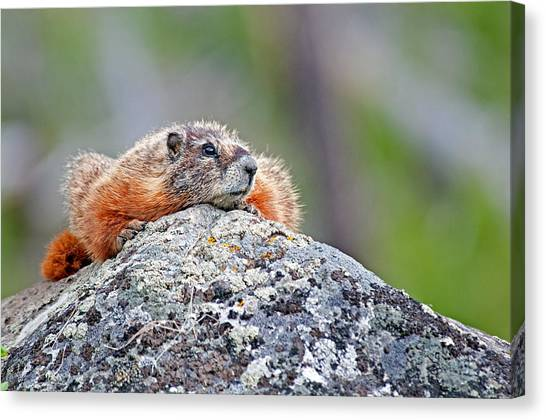 Marmot Canvas Print by Elijah Weber
