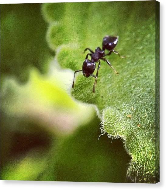 Ants Canvas Print - #nature #water #leaf #macro by Sooonism Heng