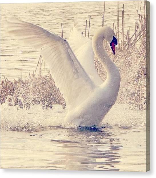 Swans Canvas Print - #photooftheday #instagood #instagramhub by Thomas Johansen