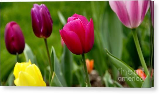University Of Pittsburgh Canvas Print - Tulip Garden University Of Pittsburgh  by Thomas R Fletcher