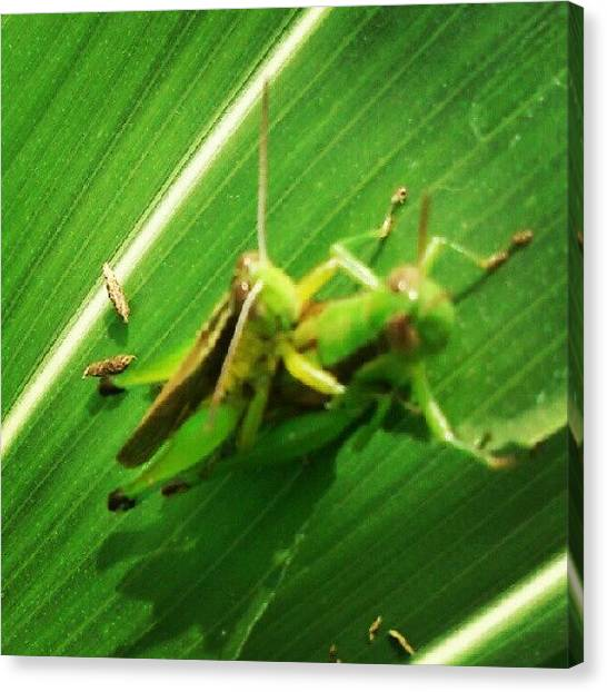 Grasshoppers Canvas Print - Instagram Photo by Weknow Funrecord
