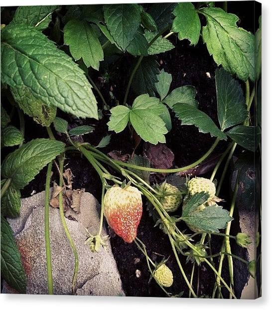 Strawberries Canvas Print - Instagram Photo by Ann K