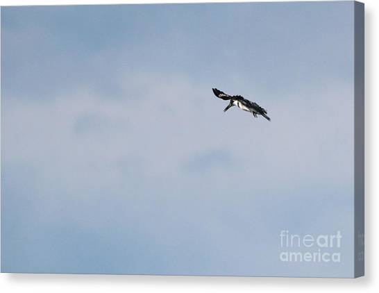 Belted Kingfisher Canvas Print by Jack R Brock