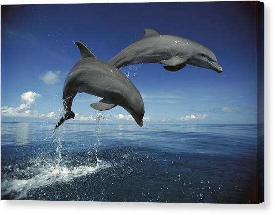 Bottlenose Dolphins Canvas Print - Bottlenose Dolphin Tursiops Truncatus by Konrad Wothe