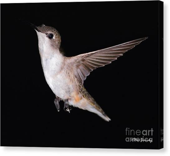 Ruby Throated Hummingbird Canvas Print by Steve Javorsky