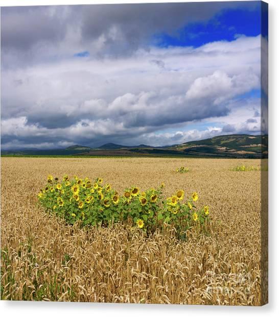 Corn Field Canvas Print - Sunflowers  by Bernard Jaubert