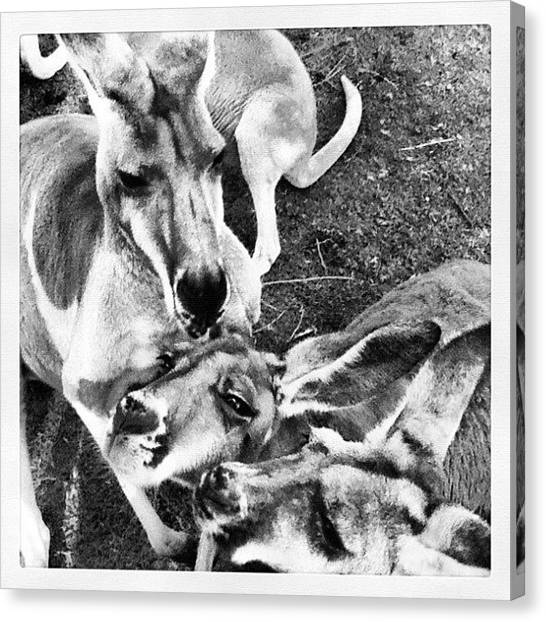 Kangaroo Canvas Print - Instagram Photo by Jessica Daubenmire