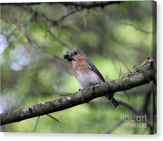 Eastern Bluebird Canvas Print by Jack R Brock