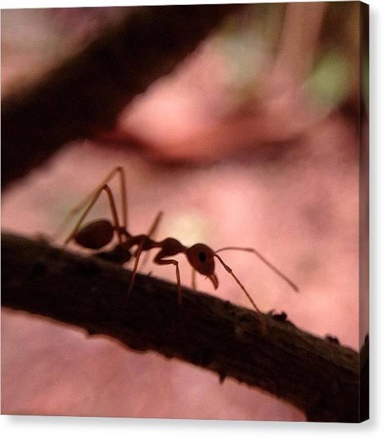 Ants Canvas Print - #nature #naturelover #macro #macrolens by Sooonism Heng