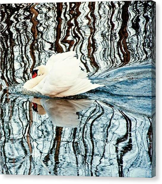 Swans Canvas Print - #photooftheday #instagood #instagramhub by Thomas Johansen
