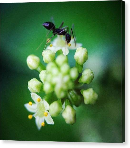 Ants Canvas Print - #plant #grass #nature #morning #sun by Sooonism Heng