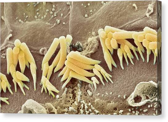 Inner Ear Hair Cells, Sem Canvas Print by Steve Gschmeissner