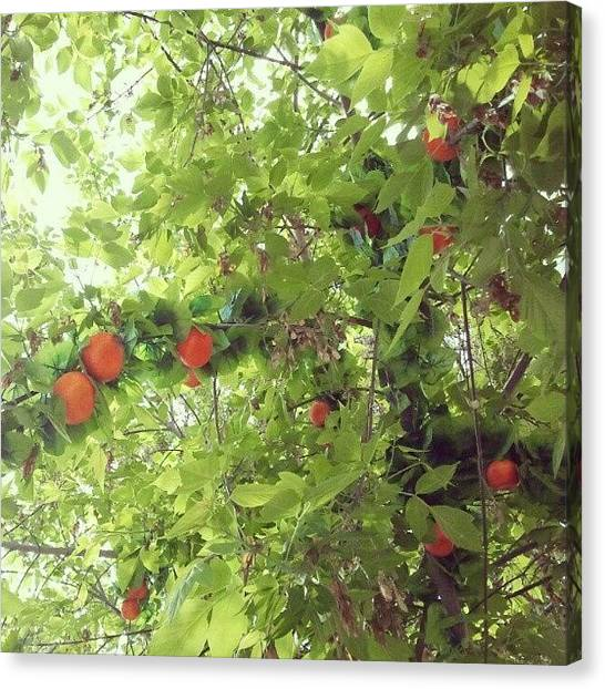 Fruit Trees Canvas Print - У нас тоже кое-где by Irina Rudakova