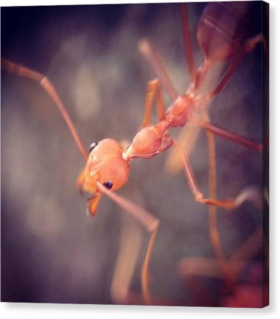Ants Canvas Print - #nature #macro #igmacro #ig_macro by Sooonism Heng
