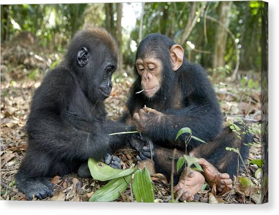 And Threatened Animals Canvas Print - A Baby Gorilla And A Chimpanzee by Michael Poliza