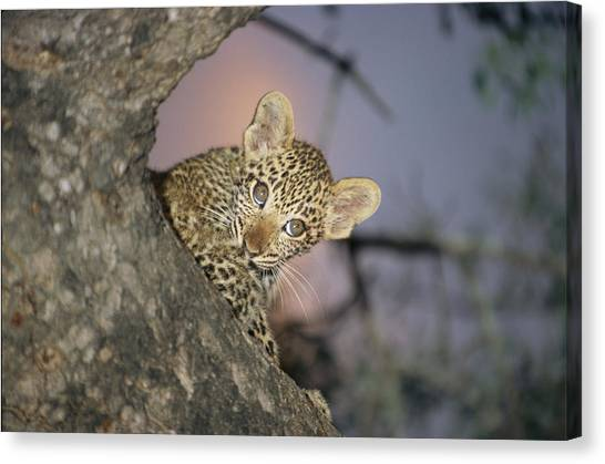 Republic Of South Africa Canvas Print - A Baby Leopard Peeks by Kim Wolhuter