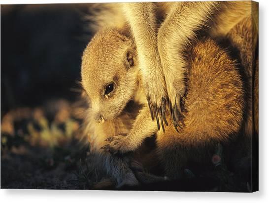 Republic Of South Africa Canvas Print - A Baby Meerkat Snuggles by Mattias Klum