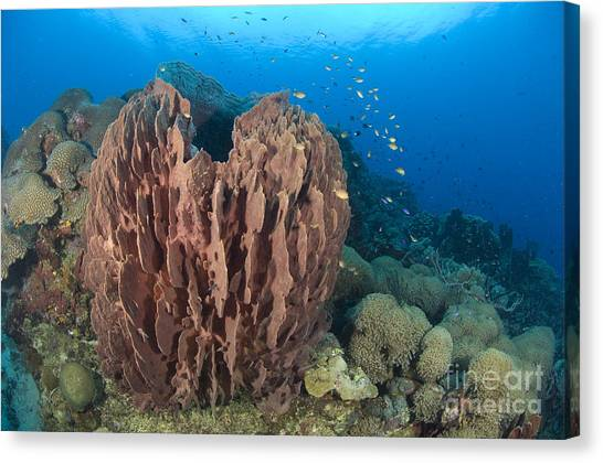 Kimbe Bay Canvas Print - A Barrel Sponge Attached To A Reef by Steve Jones