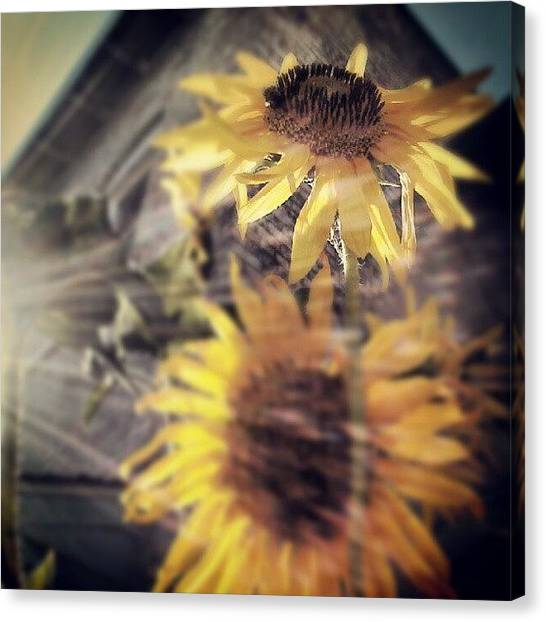 Sunflowers Canvas Print - A Beautiful Existence by Tina Marie