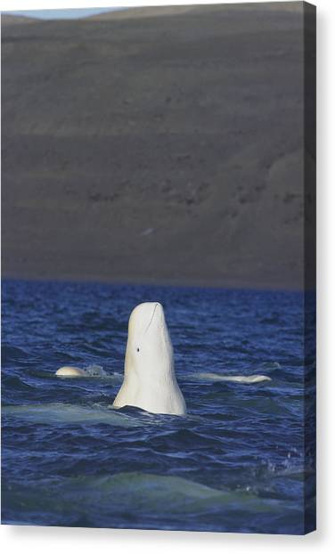 Northwest Territories Canvas Print - A Beluga Whale Lifts Head Out Of Water by Norbert Rosing