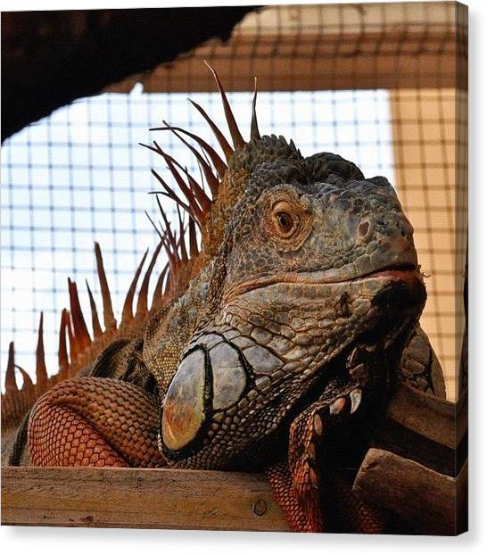 Iguanas Canvas Print - A Big Thank You To My Friend  Siggi For by Tanya Sperling