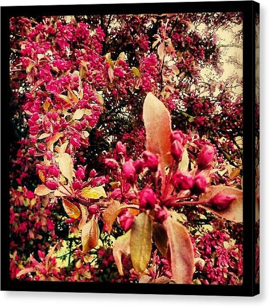 Apple Tree Canvas Print - A Bit More Of Yesterdays #spring by Alexandra Cook