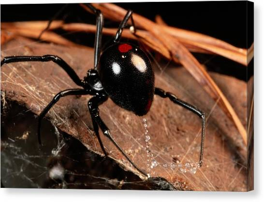 Black Widow Canvas Print - A Black Widow Spider Latrodectus by George Grall