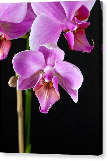 A Brilliant Orchid Canvas Print by Charlie Osborn