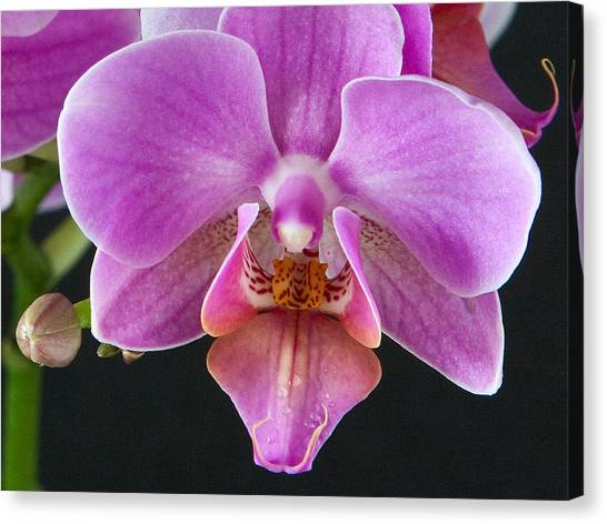 A Brilliant Orchid II Canvas Print by Charlie Osborn