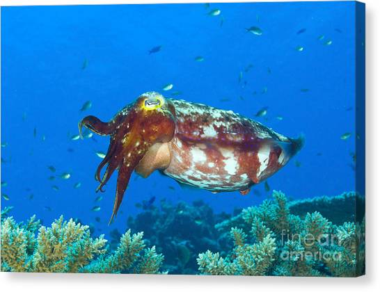 Kimbe Bay Canvas Print - A Broadclub Cuttlefish, Kimbe Bay by Steve Jones