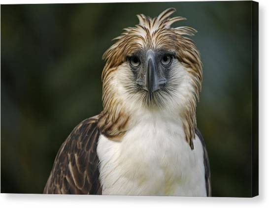 And Threatened Animals Canvas Print - A Captive Male Philippine Eagle by Klaus Nigge