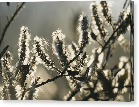 Northwest Territories Canvas Print - A Close View Of Catkins Of A Willow by Raymond Gehman