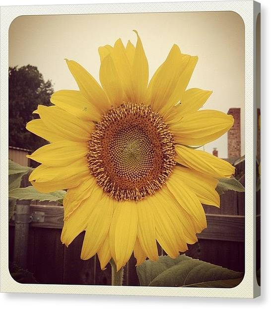 Large Birds Canvas Print - A Couple Of My Sunflowers Have Bloomed by Marc Crow